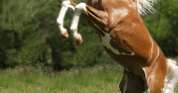 Beautiful Rearing Paint Horse Horses My Spirit Animal