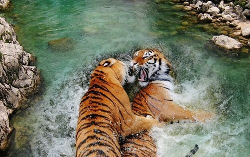 Tigers at play in Nature's hot tub