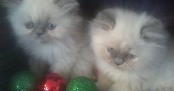 Himilayan And Persian Kittens Cats And Kittens Kittens Cute Baby Animals