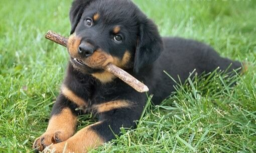 Cute Rottweiler Puppy Rottweiler Puppies