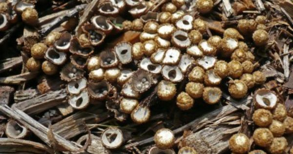 Bird S Nest Fungus In Gardens Tips For Getting Rid Of Bird S Nest Fungus Garden Mulch Mulch Fungi