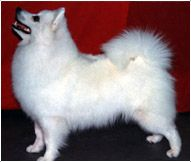 The American Eskimo Dog Breed American Eskimo Dog Unique Dog