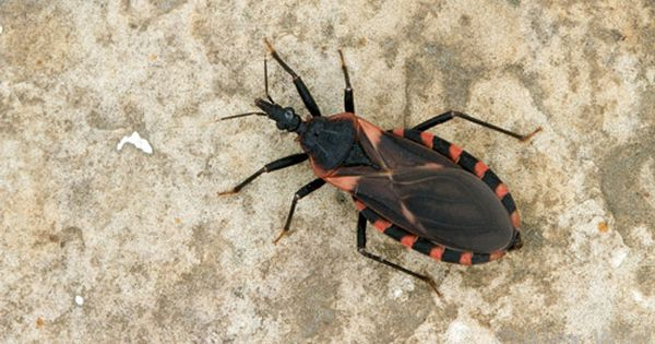 Q Is This The Kissing Bug Recently Described On Television