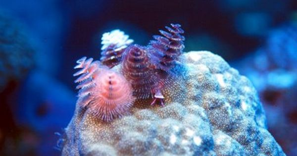 The Christmas Tree Worm Animals Alien Life Forms Sea Animals