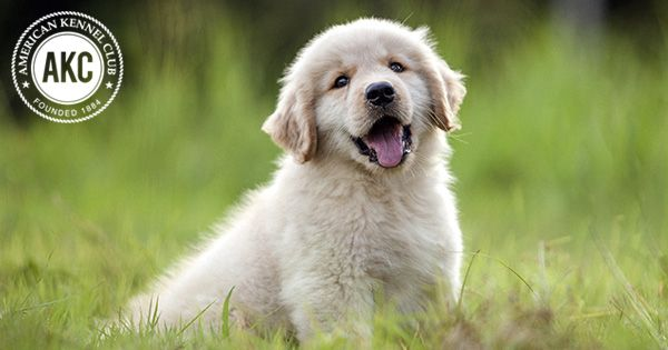 Golden Retriever Health & Care Information Pets, Health