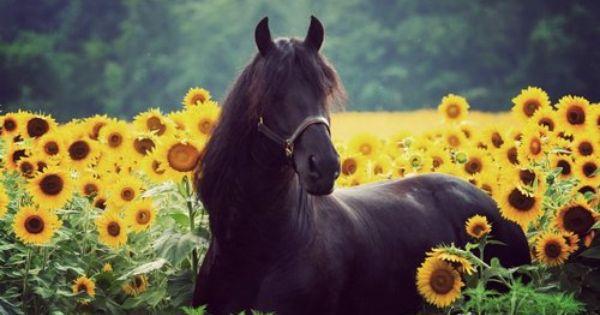 Animal friends pinterest friesian sunflowers and fields