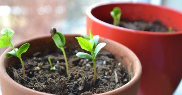 Comment faire pousser un pommier partir d 39 une graine jardin plantations pinterest - Faire pousser un citronnier ...