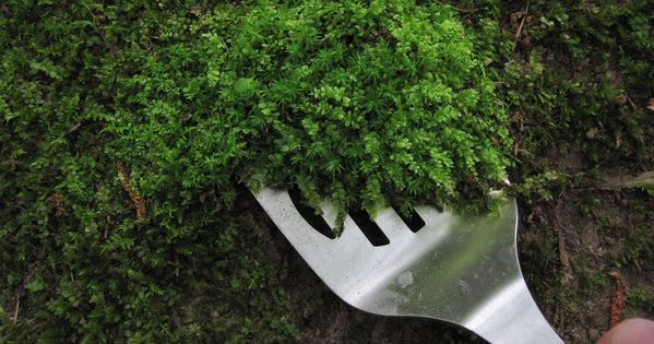 Moss Gardening. How to collect, transplant, and care for moss. If you