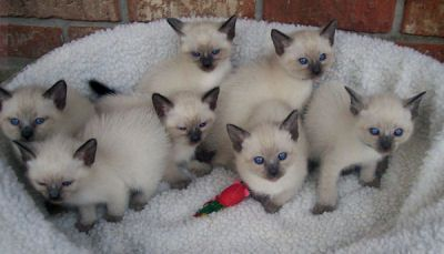 Traditional Siamese Lynx And Balinese Kittens For Sale
