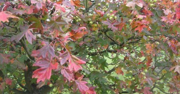 malus trilobata 39 lebanese wild crab apple 39 autumn colour plants pinterest. Black Bedroom Furniture Sets. Home Design Ideas