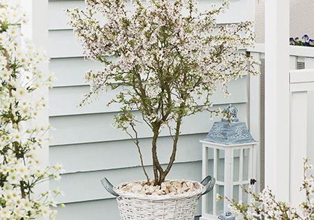 3ft Fuji Dwarf Cherry Blossom Tree 4l Pot Prunus Incisa Kojo No Mai 29 99 Cherry Blossom Tree Flowering Cherry Tree Blossom Trees