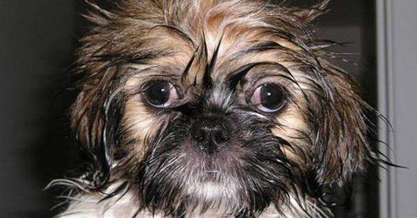 Wet And Dazed Derp X Post R Uglypuppers More At Superhuggable Com Shih Tzu Puppies Cute Animals