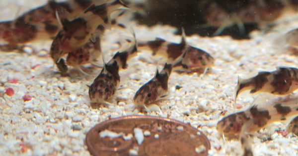 Baby Synodontis Petricola Freshwater Fish Tropical Fish Invertebrates