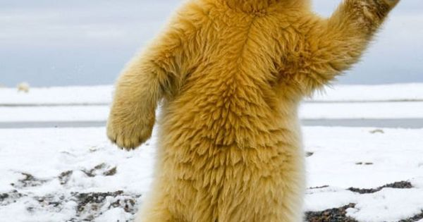 the polar bear dance.