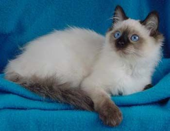 Balinese Kittens For Sale Balinese Breeder In Louisiana Siamese Cats Blue Point Balinese Cat Cute Animals