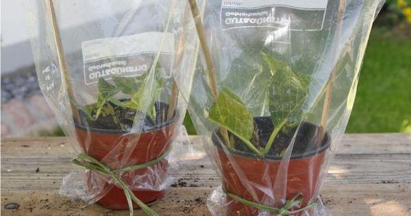 hortensien durch stecklinge vermehren gardens plants and garten. Black Bedroom Furniture Sets. Home Design Ideas
