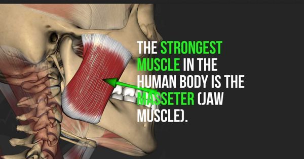 the strongest muscle in the human body is the masseter (jaw muscle, Cephalic Vein