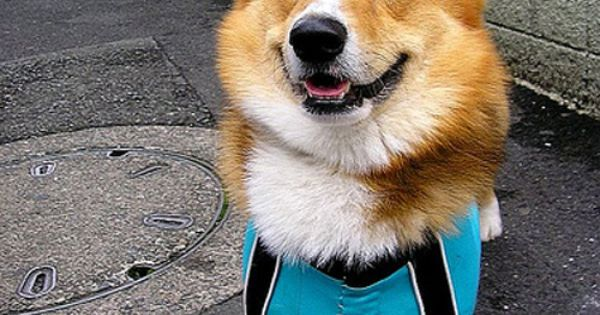Dog, Corgi, Costume