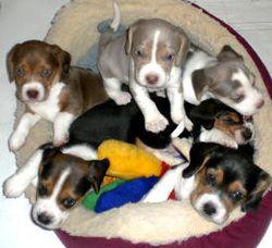 Sunshine Acres Beagles Puppies Khaki Chocolate And Tricolor