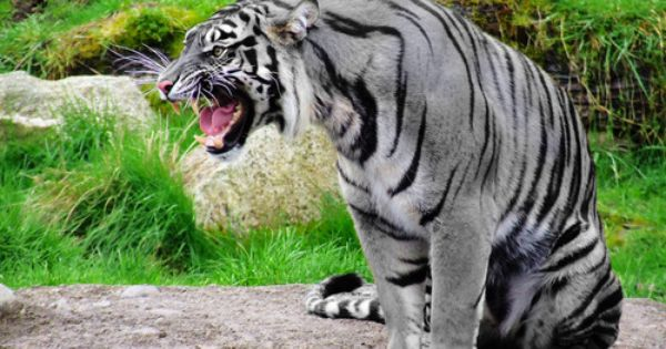 The Maltese tiger, or blue tiger, is also a very rare gene