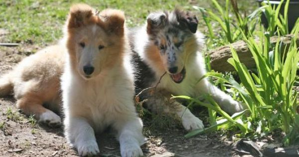 Collie Puppies In Sable Blue Merle And Tricolor Collie Puppies Rough Collie Rough Collie Puppy