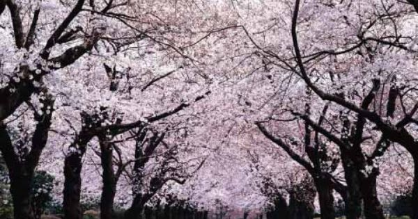 Monday Bits N Pieces Japanese Cherry Tree Blossom Trees Cherry Blossom Wallpaper