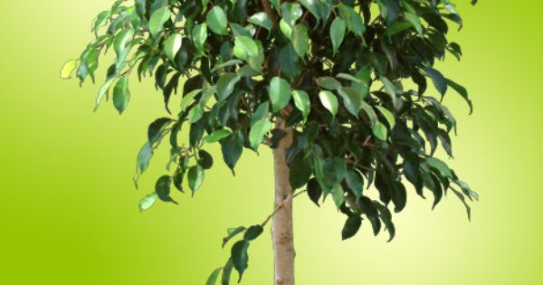 Ficus Benjamina Houseplants Lose Green Leaves When Over