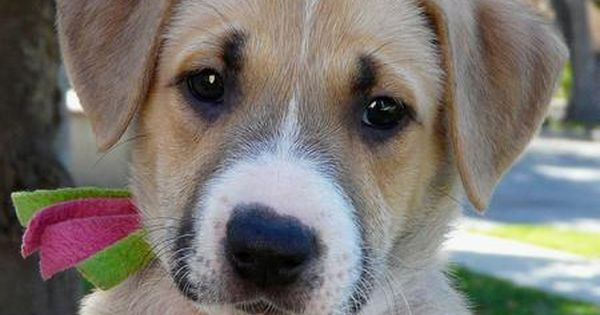 German Shepard Boxer Mix Shepherd Mix Puppies Boxer Mix