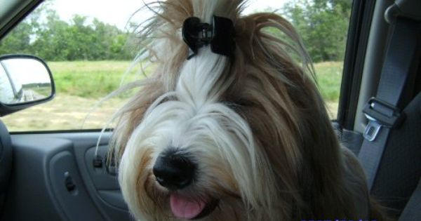 Tibetan Terrier With Hair Clip Ha Tibetan Terrier Terrier Love Pet
