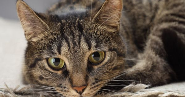 Ask The Vet What Should I Know About Diarrhea In Cats Cat Vet Cats Obese Cat