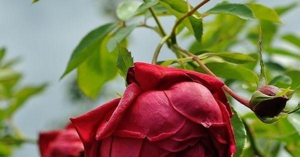 foto de Rhode Island Red climbing rose Garden Plants That I Have