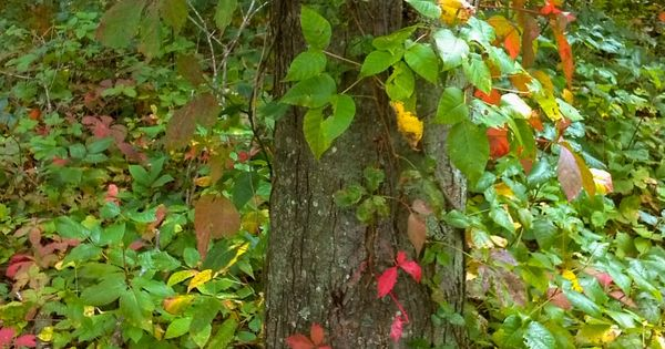 Blue Lion Training » How to Identify Poison Ivy (Toxicodendron radicans)