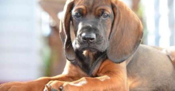Bavarian Mountain Hound Dogs Puppy Bayerischer
