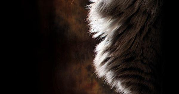Nordic Sphinx - Norwegian Forest Cat posing like a war god statue