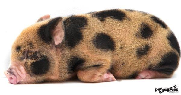 petpiggies uk | week old micro pig piglet www.petpiggies.co.uk | micro pig