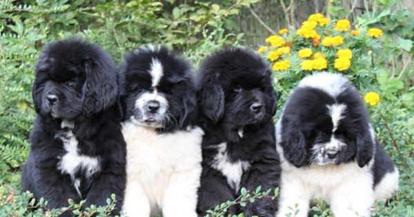 Hello World Cute Animals Newfoundland Dog