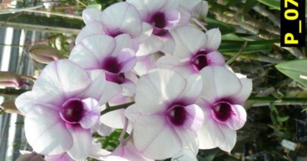 D White Caress Dendrobium Orchids Klairvoyant Orchids Thrissur Kerala Orchids Dendrobium Orchids Oncidium