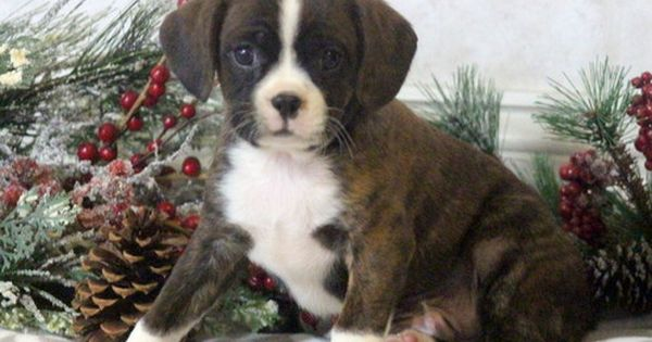 Boston Terrier Cavalier King Charles Spaniel Mix Puppy For Sale