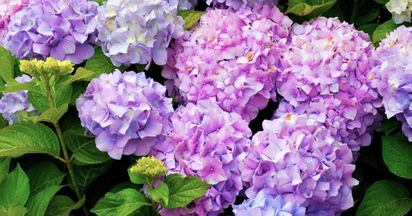 How to care for hydrangeas gardens vase and the o 39 jays - Care potted hydrangea ...