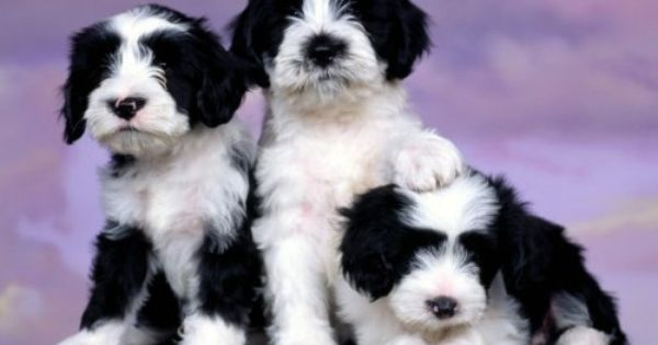 4 Paws For Ability Tibetan Terrier Cute Puppies Terrier Puppies
