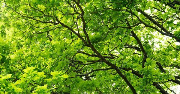 Stock photo of Oak Tree In Forest