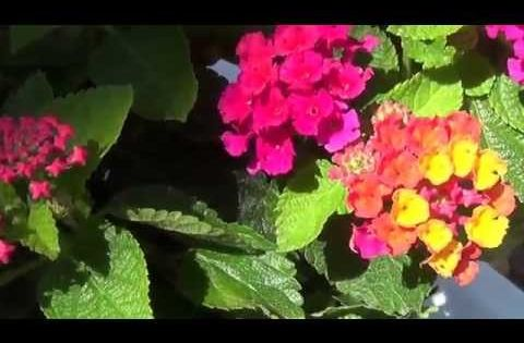 In This Article You Will Learn Lantana Camara S Health Benefits How To Uses This Herb And It S Major Side Effects L In 2020 Lantana Medicinal Plants Herbs For Health