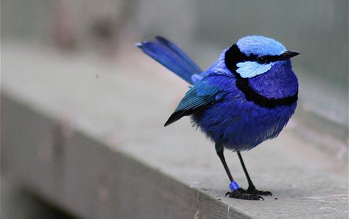 Blue wren ~ Every time I look at this pic, it makes