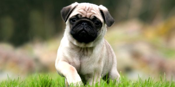 Pug Pug Wallpaper Dog Wallpaper Cute Pugs