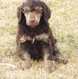 Chocolate Cream Phantom Standard Poodle Puppy With Images