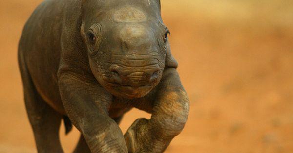 rhino calves are surprisingly adorable!