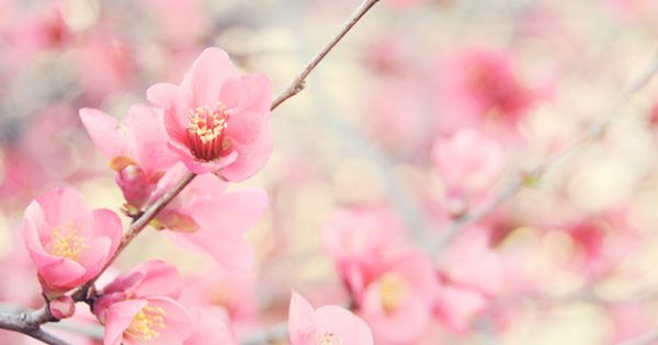 Quince Blossoms | Ez Pudewa. flower flowering tree trees
