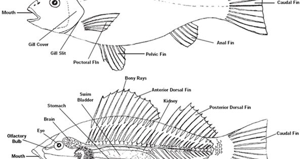 fish anatomy sketch
