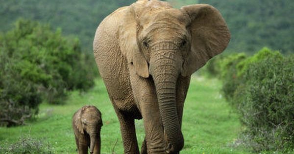 I just love this picture... A mother walking with her baby elephant.