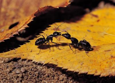 Natural Remedy To Get Rid Of Sugar Ants Rid Of Ants Get Rid Of Ants Kill Ants